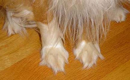 Hair is overgrown.  Dirt, rocks, mud, etc., will all stick to this dogs furry feet.