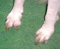 This poor dog will have foot problems if his feet are left unclipped for too long.
